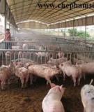 Đệm lót lên men sử dụng trong chăn nuôi heo