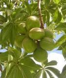 Kỹ thuật trồng và bón phân cho cây trôm