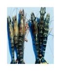 Nuôi tôm sú thâm canh kết hợp với AQUAMATS và cá rô phi trong hệ thống kín có hàm lượng muối thấp