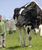 Chăm sóc bò khi vắt sữa