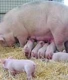 Những biểu hiện bất thường ở lợn nái