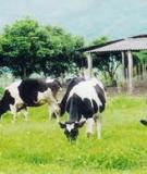 Trị cảm nắng cho gia súc