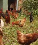Các lưu ý trong chăn nuôi gà
