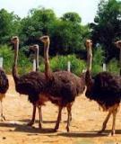 Emu (chim đà điểu Úc)