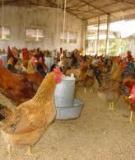 Kỹ thuật nuôi gà Isabrown thương phẩm từ 6-11 tuần tuổi