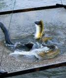 Bệnh thường gặp của một số loài cá nuôi
