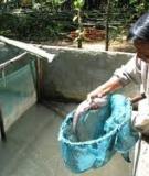 Các kỹ thuật nuôi Cá bống tượng thương phẩm