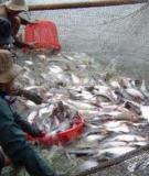 Sản xuất giống , nuôi cá chép