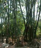 Kỹ thuật gây trồng cây tre mai