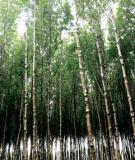 Kỹ thuật trồng cây đước ở rừng ngập mặn