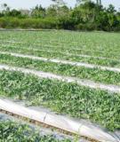 Một số chú ý khi trồng rau có sử dụng màng phủ ở vụ Xuân Hè