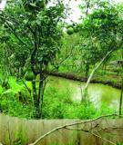 Nguyên tắc trồng và chăm sóc vườn cây ăn quả bảo đảm vệ sinh an toàn thực phẩm