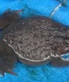 Đặc điểm sinh học và qui trình kỹ thuật nuôi ếch đồng