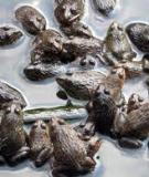 Kỹ thuật nuôi ếch bằng lồng lưới và bằng bể xi măng