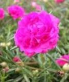 Hoa mười giờ chữa bỏng