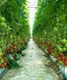 Các kỹ thuật trồng cà chua bi