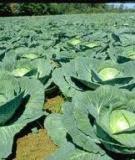 Quy trình trồng cải bắp
