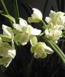 Đinh hương: giải pháp cho hơi thở như lan