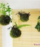 Trồng cây treo đẹp lạ theo phong cách Nhật Bản