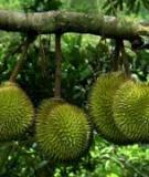Các kỹ thuật trồng cây Sầu Riêng