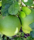 Kỹ thuật trồng và chăm sóc cây bưởi Phúc Trạch