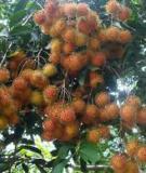 Kỹ thuật trồng và chăm sóc cây chôm chôm