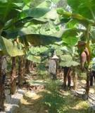 Phòng chống bão cho vườn chuối