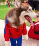 May áo người nhện cho siêu nhân cún nhà mình