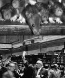Stock Market Behavior Predicted by Rat  Neurons
