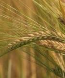 Bộ Gene Cây Lúa Và Triển Vọng
