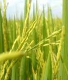Kỹ thuật nhân giống lúa Nam Thơm (KDM 105)
