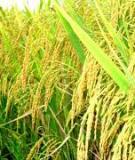 Phòng trừ bệnh đạo ôn cho lúa