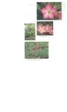 Kỹ thuật trồng và ghép sứ Thái nhiều màu (P2)