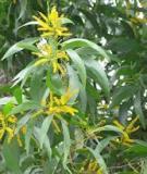 Hướng dẫn trồng rừng keo lá tràm (Acacia auriculiformis)
