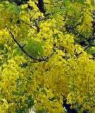 Muồng hoàng yến - loài cây đẹp có giá trị kinh tế cần phát triển