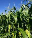 Sử dụng các loài cây nông, lâm nghiệp sản xuất nhiên liệu