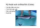 Kỹ thuật nuôi cá Bớp/Giò (Cobia)
