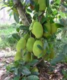 Kỹ thuật trồng mít Thái
