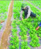 Kỹ thuật trồng lạc có che phủ nilon