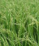 Phương pháp hạn chế đổ ngã trong canh tác lúa