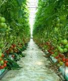 Kỹ thuật trồng và chăm sóc cây cà chua