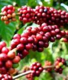 Giải pháp tái canh cà phê
