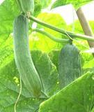 Kỹ thuật trồng dưa chuột theo hướng tiêu chuẩn VietGAP