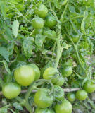 Kinh nghiệm chăm sóc cà chua trái vụ
