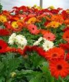 Kỹ thuật trồng và chăm sóc hoa cúc Đồng Tiền