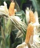 Kinh nghiệm trồng ngô đông trên đất ruộng 2 vụ lúa