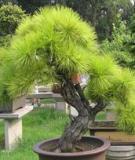 Hướng dẫn những quy tắc trong nghệ thuật bonsai
