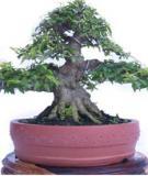 Hướng dẫn kỹ thuật tạo hình và chăm sóc bonsai