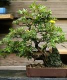 Hướng dẫn các yêu cầu phân bón cho cây bonsai