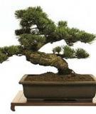 Cách phân loại bonsai